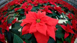 Pflege Tipps Für Weihnachtssterne So Halten Die Pflanzen