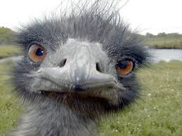 Image result for cute emu