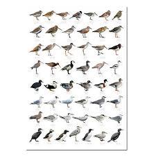 British Shore Estuary Birds Waders Seabirds Identification