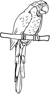 coloring page of a macaw parrot pirate parrot coloring page pirate parrot coloring pagefull