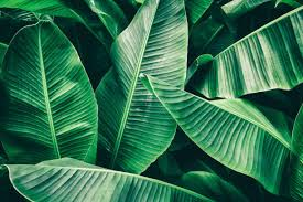 23,678 Banana Leaf Stock Photos, Pictures & Royalty-Free Images ...