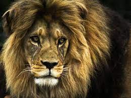 Lion, Animals ...