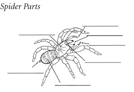 Spider Anatomy Chart Smithsonian Education Under The Spell Of Spiders