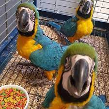 blue and gold macaw parrots in