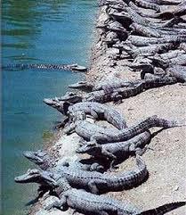 Крокодилы нильские крокодилы длина Нил охотник туловище  Крокодилы
