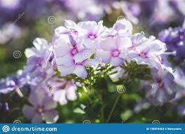 beautiful purple and white flowers. Unique Purple Download Closeup Of Beautiful Purple And White Flowers Geranium Blossom  Stock Image  Of Inside Flowers