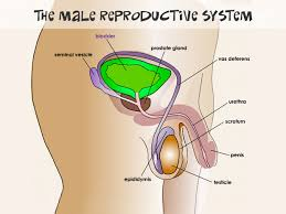 Male Reproductive System For Parents Nemours Kidshealth