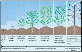 Cotton Growth Stage Chart Growth Stages And Development Of A 170 Day Old Cotton Plant