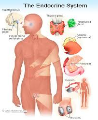 ✓ free for commercial use ✓ high quality images. Endocrine System Illustrations Of Anatomy Function Glands Organs