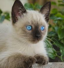 Adorable... I just may need another Siamese kitten in the near future! |  Kittens cutest, Siamese kittens, Cats