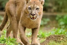 Tierlexikon: Puma - [GEOLINO]