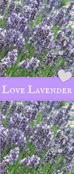 Lavender Provence - Six lovely Lavender Provence Plants for your garden. A  deep shade of