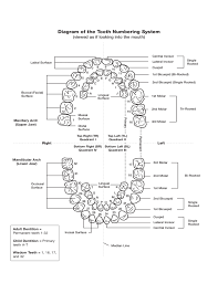 Dental Numbering Chart Tooth Numbering Chart Free Download