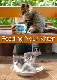 Feeding Your Kitten The Happy Cat Site