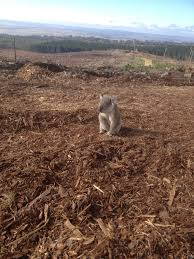 koala photo shows forest destroyed by loggers animal s heartbreak  koala photo shows forest destroyed by loggers animal s heartbreak after losing home huffpost