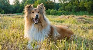 Collie Dog Breed Information Center A Guide To The Rough