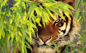Tiger Laptop Wallpapers - Top Free ...