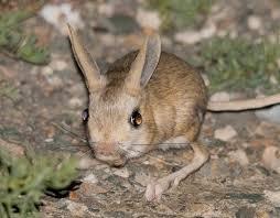 nocturnal desert animals. Beautiful Desert 10 Jerboa To Nocturnal Desert Animals E