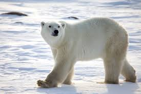 Image result for pictures of polar bears