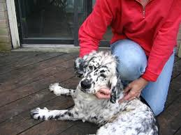 golden retriever dalmatian mix. Perfect Dalmatian Dalmatian And Golden Retriever Mix My Two Favorite Dogs In One In Mix O