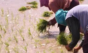Image result for Nigerian Rice farmers