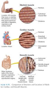 Cardiac Smooth And Skeletal Muscle