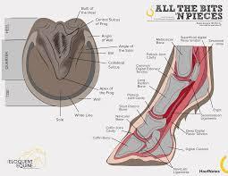 Hoofnotes Infographic Equine Anatomy Part 4 The