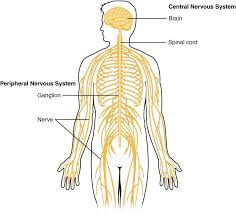 Comparative Functions Of Nervous And Endocrine Systems Chart Difference Between Endocrine And Nervous System Definition