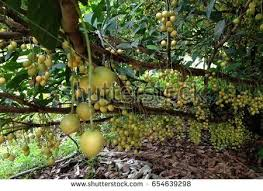 Vietnamese Fruit Stock Images RoyaltyFree Images U0026 Vectors Group Of Fruit Trees