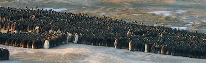 emperor penguin huddle. Plain Huddle Intended Emperor Penguin Huddle R