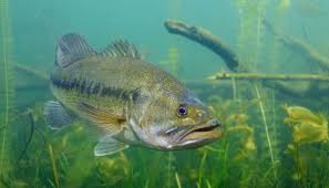 Largemouth Bass Age Chart Age And Growth Of Largemouth Bass Fishinpedia