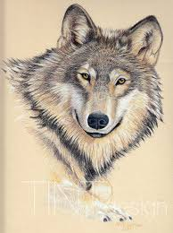 gray wolf drawing colored. Simple Colored On Gray Wolf Drawing Colored