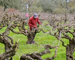 Lodi Winegrape Commission Blog Winter Pruning And The