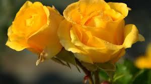 2950x2094 six yellow roses hd wallpaper