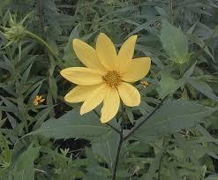 Ten-Petal Sunflower (Helianthus decapetalus)