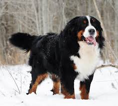 bernese mountain dog puppies. Interesting Dog MEET MY MALES Inside Bernese Mountain Dog Puppies E