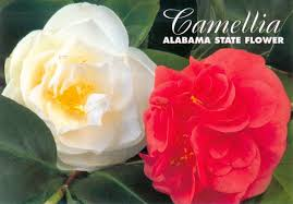 Image result for alabama state flower