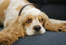 er spaniel ear infections