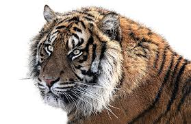 tiger face png free