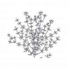 We did not find results for: Premium Vector Thyme Illustration Of Garden Fragrant Herbs