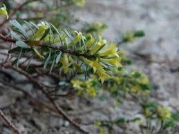 Thymelaea dioica (Gouan) All.
