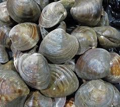Clam Size Chart Quahog Clams Chefs Resources