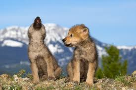 gray wolf pups howling. Wonderful Pups KimballStock_WOV 09 KH0010 01_preview Intended Gray Wolf Pups Howling