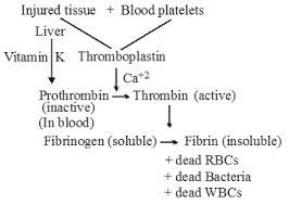 Coagulation Of Blood Flow Chart Platelets Help In Clotting Of Blood At Injured Site Draw A
