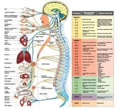 Chiropractic Chart Spine Diagram Chart Wiring Diagrams