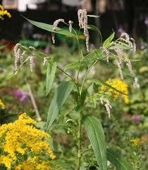 Persicaria lapathifolia - Wikipedia