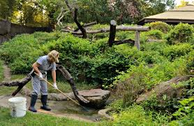 zookeeper cleaning. Beautiful Zookeeper McCaleb Cleans The Water Features In Gorilla Exhibit Before Zoo  OpensDallas With Zookeeper Cleaning L