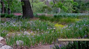 above is one of the stands of pacific coast irises at the garden