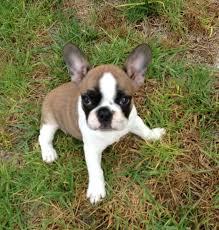 litter of 8 vizsla puppies for in bwood ca adn 41328 on puppyfinder gender female age 3 weeks old puppies for vizsla