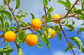 Kumquat Tree Stock Images RoyaltyFree Images U0026 Vectors Group Of Fruit Trees